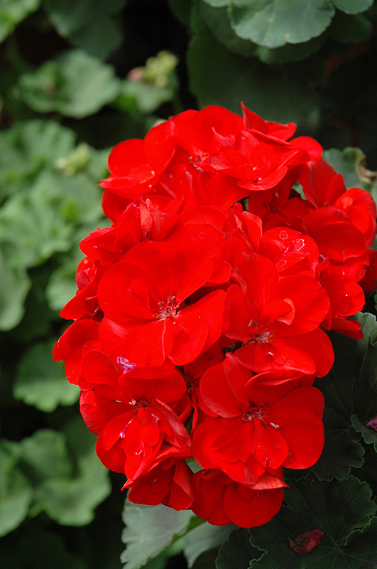 rocky mountain dark red geranium  pelargonium  u0026 39 rocky