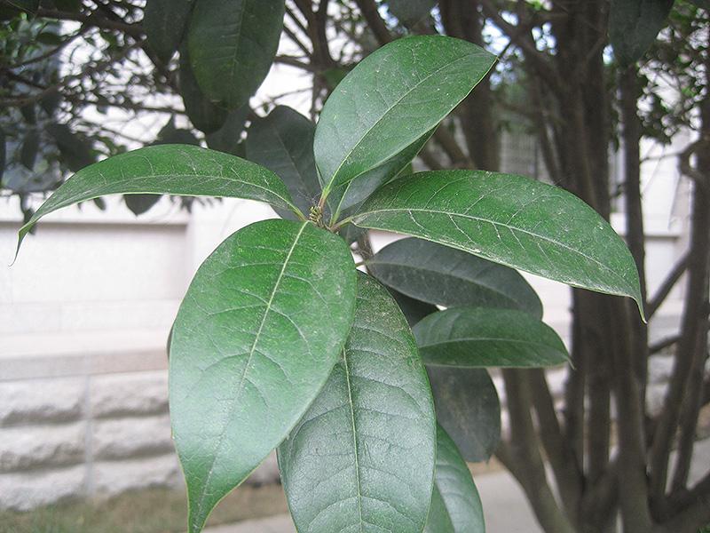 Fragrant Tea Olive (Osmanthus fragrans \'var. thunbergii\') in ...