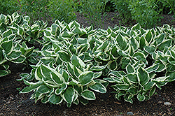 Minuteman Hosta (Hosta 'Minuteman') at Holcomb Garden Center