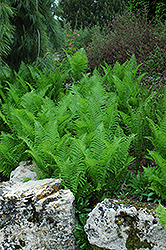 Ostrich Fern (Matteuccia strutheriopteris) at Holcomb Garden Center