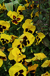 Majestic Giant Yellow Pansy (Viola x wittrockiana 'Majestic Giant Yellow') at Holcomb Garden Center