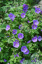 Johnson's Blue Cranesbill (Geranium 'Johnson's Blue') at Holcomb Garden Center