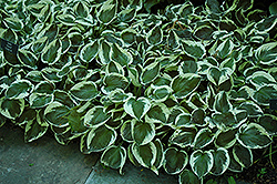 Patriot Hosta (Hosta 'Patriot') at Holcomb Garden Center
