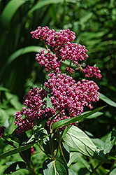 Swamp Milkweed (Asclepias incarnata) at Holcomb Garden Center