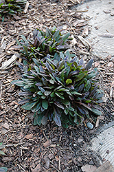 Chocolate Chip Bugleweed (Ajuga reptans 'Chocolate Chip') at Holcomb Garden Center