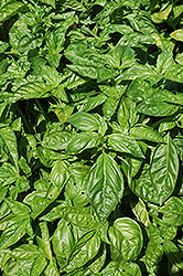 Sweet Basil (Ocimum basilicum) at Holcomb Garden Center