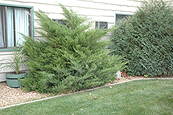 Mint Julep Juniper (Juniperus chinensis 'Mint Julep') at Holcomb Garden Center