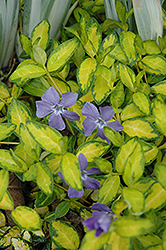 Illumination Periwinkle (Vinca minor 'Illumination') at Holcomb Garden Center