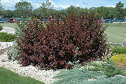 Diablo Ninebark (Physocarpus opulifolius 'Diablo') at Holcomb Garden Center