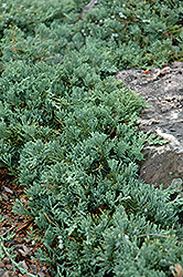 Blue Rug Juniper (Juniperus horizontalis 'Wiltonii') at Holcomb Garden Center