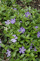 Common Periwinkle (Vinca minor) at Holcomb Garden Center