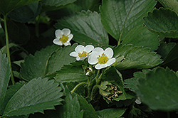 Everbearing Strawberry (Fragaria 'Everbearing') at Holcomb Garden Center