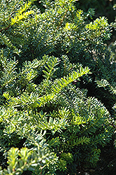 Emerald Spreader Yew (Taxus cuspidata 'Emerald Spreader') at Holcomb Garden Center