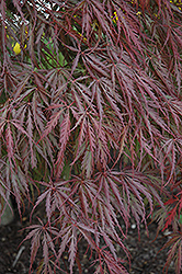 Tamukeyama Japanese Maple (Acer palmatum 'Tamukeyama') at Holcomb Garden Center