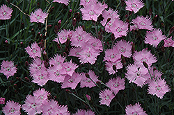 Bath's Pink Pinks (Dianthus 'Bath's Pink') at Holcomb Garden Center