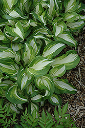 Variegated Hosta (Hosta undulata 'Variegata') at Holcomb Garden Center