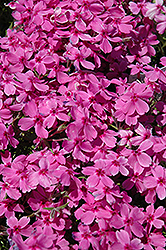 Red Wings Moss Phlox (Phlox subulata 'Red Wings') at Holcomb Garden Center