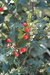 Berri-Magic Kids Meserve Holly (Ilex x meserveae 'Berri-Magic Kids') at Holcomb Garden Center