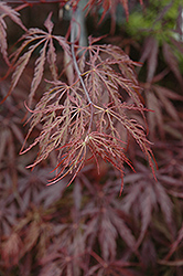 Red Select Japanese Maple (Acer palmatum 'Red Select') at Holcomb Garden Center