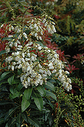 Mountain Fire Japanese Pieris (Pieris japonica 'Mountain Fire') at Holcomb Garden Center