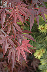 Skeeter's Broom Dwarf Japanese Maple (Acer palmatum 'Skeeter's Broom') at Holcomb Garden Center