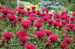 Raspberry Wine Beebalm (Monarda 'Raspberry Wine') at Holcomb Garden Center