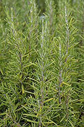 Upright Rosemary (Rosmarinus officinalis 'Upright') at Holcomb Garden Center