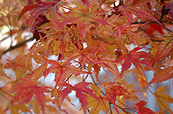Butterfly Variegated Japanese Maple (Acer palmatum 'Butterfly') at Holcomb Garden Center