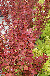 Red Carpet Japanese Barberry (Berberis thunbergii 'Red Carpet') at Holcomb Garden Center