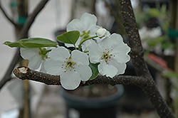 Hosui Asian Pear (Pyrus pyrifolia 'Hosui') at Holcomb Garden Center