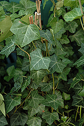 Thorndale Ivy (Hedera helix 'Thorndale') at Holcomb Garden Center