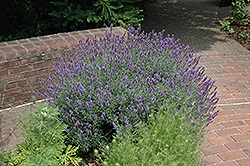 English Lavender (Lavandula angustifolia) at Holcomb Garden Center