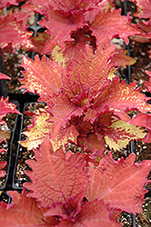 Henna Coleus (Solenostemon scutellarioides 'Henna') at Holcomb Garden Center