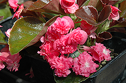 Doublet Rose Begonia (Begonia 'Doublet Rose') at Holcomb Garden Center