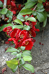 Crimson and Gold Flowering Quince (Chaenomeles x superba 'Crimson and Gold') at Holcomb Garden Center