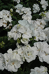 Tango White Geranium (Pelargonium 'Tango White') at Holcomb Garden Center