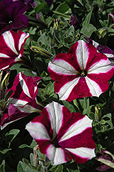 Easy Wave Burgundy Star Petunia (Petunia 'Easy Wave Burgundy Star') at Holcomb Garden Center