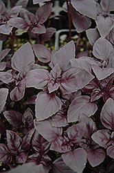 Red Rubin Basil (Ocimum basilicum 'Purpurascens') at Holcomb Garden Center