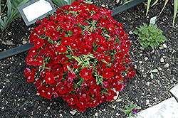 Floral Lace Crimson Pinks (Dianthus 'Floral Lace Crimson') at Holcomb Garden Center