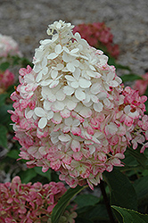 Vanilla Strawberry™ Hydrangea (Hydrangea paniculata 'Renhy') at Holcomb Garden Center
