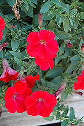 Surfinia® Red Petunia (Petunia 'Surfinia Red') at Holcomb Garden Center