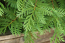 Soft Serve® Falsecypress (Chamaecyparis pisifera 'Dow Whiting') at Holcomb Garden Center