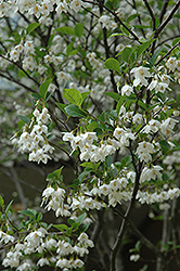 Japanese Snowbell (Styrax japonicus) at Holcomb Garden Center