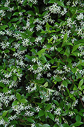 Confederate Star-Jasmine (Trachelospermum jasminoides) at Holcomb Garden Center