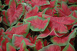 Frieda Hemple Caladium (Caladium 'Frieda Hemple') at Holcomb Garden Center