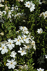 Daisy Gardenia (Gardenia jasminoides 'Daisy') at Holcomb Garden Center