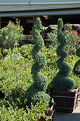 Blue Point Spiral Juniper (Juniperus chinensis 'Blue Point (spiral)') at Holcomb Garden Center