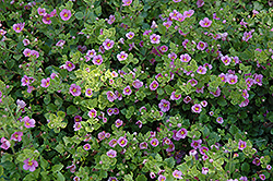 Big Falls Dark Pink Bacopa (Sutera cordata 'Big Falls Dark Pink') at Holcomb Garden Center