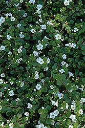 Big Falls White Bacopa (Sutera cordata 'Big Falls White') at Holcomb Garden Center