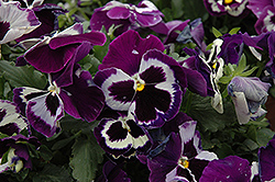 Delta Violet With Face Pansy (Viola x wittrockiana 'Delta Violet With Face') at Holcomb Garden Center